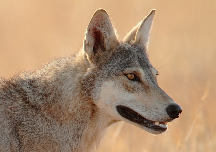 Indian Wolf2