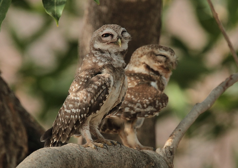 Owlet, Spotted